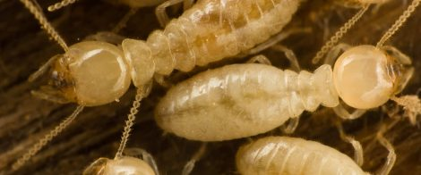 Closeup Picture of Termites